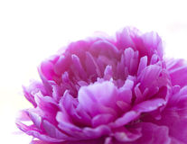 Pink peony flower isolated on white background. Royalty Free Stock Photography