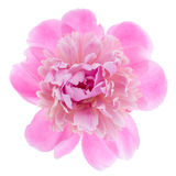 Pink peony flower Royalty Free Stock Photography