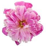 Pink peony flower Royalty Free Stock Photos