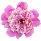 Pink peony flower Stock Image