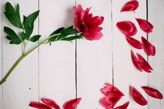 pink peony flower and leaves on white wooden background stock photo