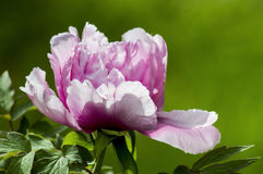 Pink peony flower. Light pink peony petals is put under the rays of the sun Royalty Free Stock Photography