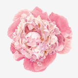 Pink peony flower. Luxurious pink peony flower painted in pastel colors Royalty Free Stock Photography