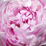 Pink peony flower (macro) Royalty Free Stock Photos