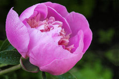 Pink peony flower Royalty Free Stock Image