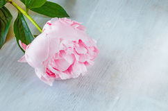 Pink peony flower n a white wooden texture background. Stock Photo