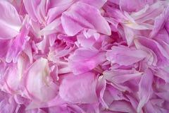 Pink peony flower petal background. Paeonia lactiflora. stock image