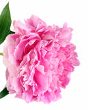 Pink peony flower petals close up background Royalty Free Stock Photography