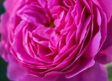 Pink peony flower petals Stock Photos