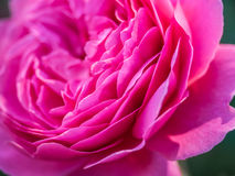 Pink peony flower petals Royalty Free Stock Photography