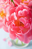 Pink peony flower petals macro background Royalty Free Stock Photography