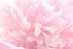 Free Pink Peony Flower Petals Macro Shot, Elegant Natural Floral Wedd Stock Photo - 93094780