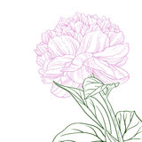 Pink peony flower pink line art Stock Image