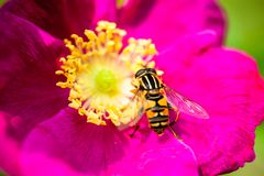 Pink peony flower with pollinating wasp Stock Photo