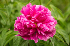 Pink peony flower after the rain in the garden Royalty Free Stock Photography