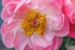Pink peony flower with stamen. Macro photo. Pink peony flower with yellow stamen closeup. Macro photo stock photo