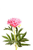Pink peony flower and stem Stock Photo