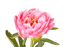 Pink peony flower, stem and leaves on white Stock Photo