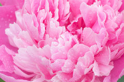 Pink peony flower with water drops Stock Image