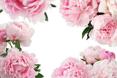 Pink peony flower on white background with copy space for greeting message. Stock Photos