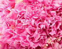 Pink peony flowers Royalty Free Stock Photo