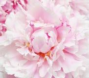 Pink peony flowers. Royalty Free Stock Image