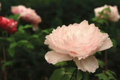 Pink Peony flowers,closeup. Pink Peony flowers,beautiful pink flowers in full bloom in the garden in spring,closeup Royalty Free Stock Photos