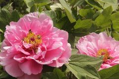 Bees collect pollen in spring1. Pink peony flowers Bees Spring Flower on zhe hill Peony of luoyang china Colors of spring Spring outing stock photography