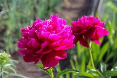 Pink peony flowers stock photography