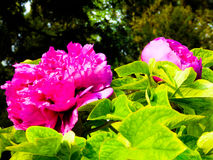 Pink Peony flowers blooming royalty free stock images