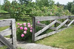 Pink Peony Flowers Blooming by Wooden Fence Stock Image
