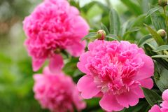 Pink Peony Flowers with Buds in the Garden Stock Photography