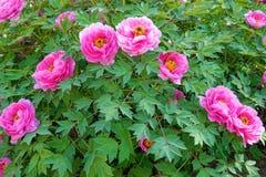 Pink peony flowers Stock Photos