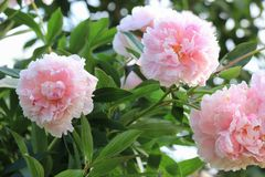 Pink peony flowers closeup. Beautiful pink peony flowers in the garden Stock Images