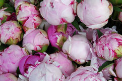 Pink peony flowers deatil Stock Photo