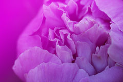 Pink peony flowers.fragment of pink peony. peony flower Stock Photography
