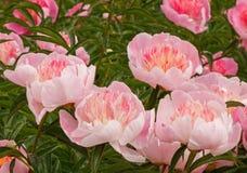 Pink peony flowers Stock Image