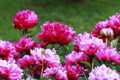 Pink Peony flowers. In a garden Stock Photo