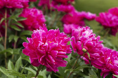 Pink Peony flowers. In a garden Stock Photography