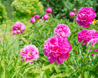 Pink peony flowers in the garden Royalty Free Stock Photo