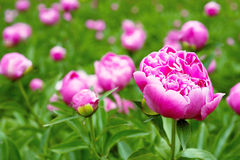 Pink peony flowers in the garden Royalty Free Stock Photos