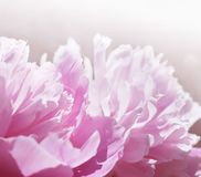 Pink peony flowers. Gentle pink background Royalty Free Stock Photography