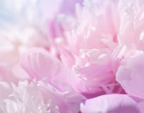 Pink peony flowers. Gentle pink background Stock Photography