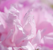 Pink peony flowers. Gentle pink background Royalty Free Stock Photo