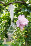 Pink peony flowers  in a glass jar. Stock Photos