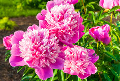 Pink Peony flowers Stock Images