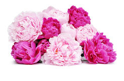 Pink peony flowers Royalty Free Stock Image