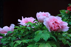 Pink peony flowers in jingshan Park Royalty Free Stock Image
