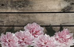 Pink peony flowers on  wooden background Royalty Free Stock Photos