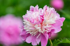Pink peony flowers in an orchard. Peonies bloom in May. Blooming flowers of soft focus in springtime. Nature wallpaper blurry background. Image doesn't stock photo